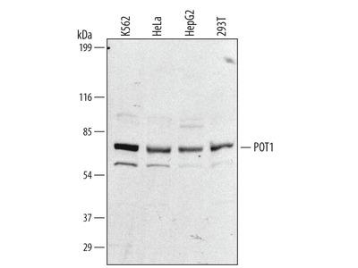 Human POT1 Antibody