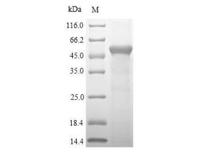 Recombinant Mouse Sulfotransferase 1A1 (Sult1a1)