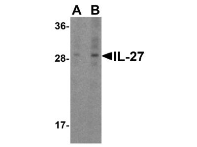 IL-27 Antibody