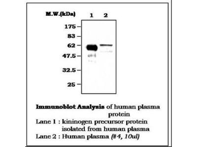 KNG1 / Kininogen / Bradykinin Monoclonal Antibody