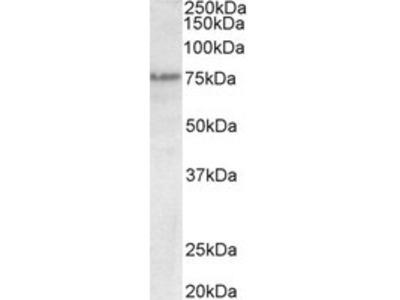 Goat anti-Trp63 (mouse) Antibody