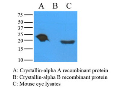 alpha Crystallin A antibody