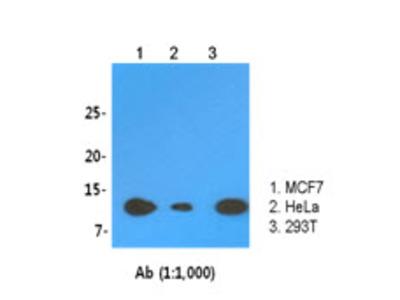 LSm2 antibody (clone AT2B2)