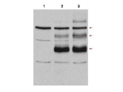 c-Myb Antibody