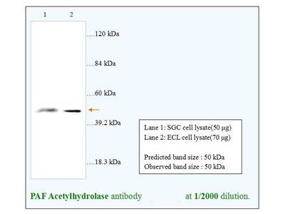 PAF Acetylhydrolase Antibody