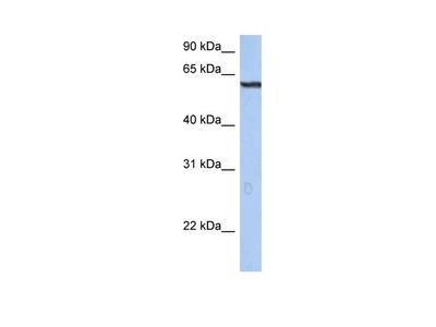 TRIM22 antibody - N-terminal region (P100888_P050)
