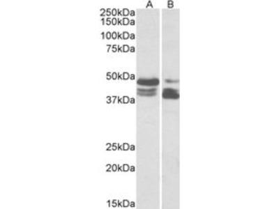 Goat anti-perilipin 3 / TIP47 (aa154-167) Antibody