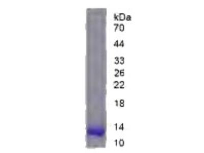 Recombinant Amyloid Precursor Protein (APP)