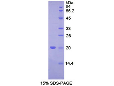 Recombinant Fc Fragment Of IgG Binding Protein (FcgBP)
