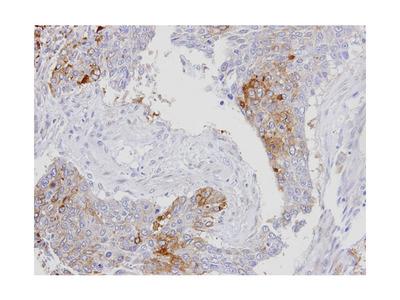 RanBP16 antibody