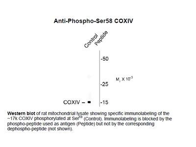 Anti-Phospho-Ser58 COXIV