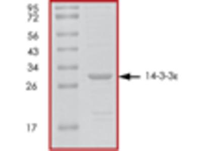 14-3-3 epsilon recombinant protein