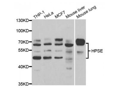 Anti-HPSE antibody
