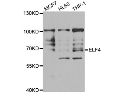 Anti-ELF4 antibody