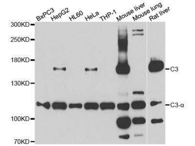 Anti-C3 antibody
