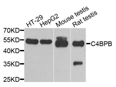 Anti-C4BPB antibody (STJ28445)
