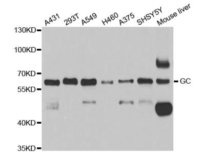 Anti-GC antibody