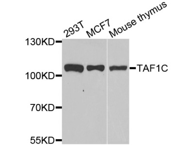 Anti-TAF1C antibody (STJ28842)