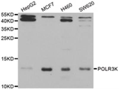 Anti-POLR3K antibody