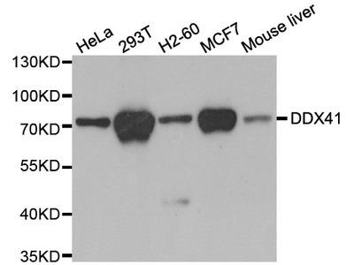 Anti-DDX41 antibody