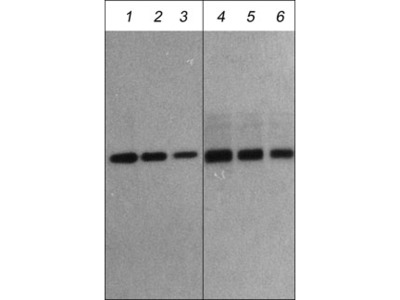 Atrogin-1 Antibody