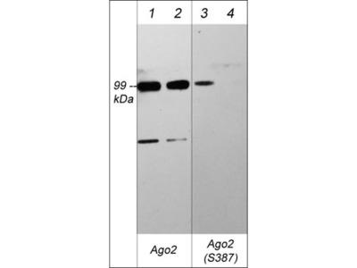 Argonaute 2 (Ser-387), phospho-specific Antibody