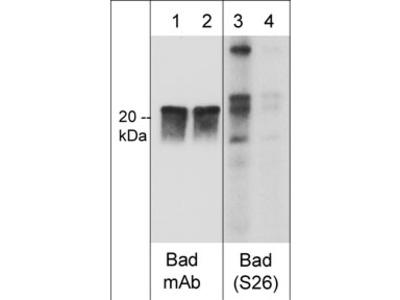 Bad (Ser-26), phospho-specific Antibody