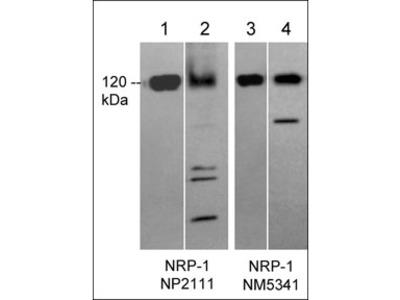 Neuropilin-1 (a1 CUB Domain) Antibody