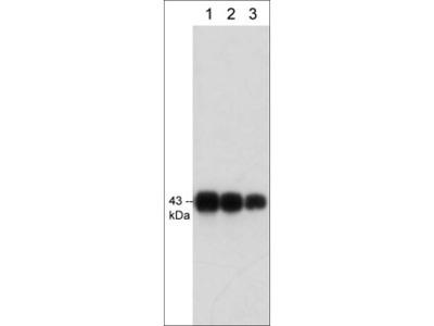 Connexin-43 (C-terminal region) Antibody