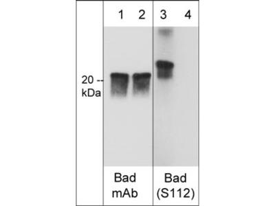 Bad (Ser-112), phospho-specific Antibody