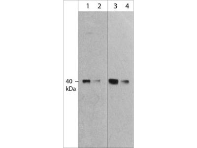 MuRF1 (C-terminal region) Antibody