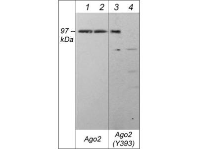 Argonaute 2 (N-terminus) Antibody