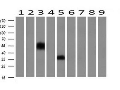 NPTN / SDR1 Monoclonal Antibody