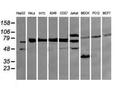 DEF6 Monoclonal Antibody