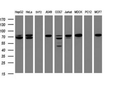 CCDC93 Monoclonal Antibody
