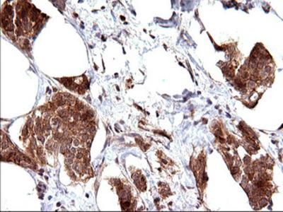 EMC8 / COX4NB Monoclonal Antibody