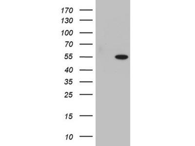 SAP30BP / HTRG Monoclonal Antibody