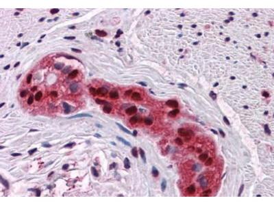 Mouse Anti-SOX9 Antibody
