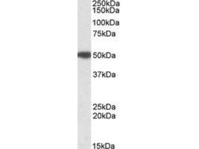 Goat Anti-MON1A Antibody