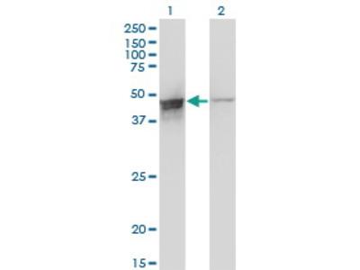 Mouse Anti-DAZAP1 Antibody