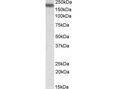 Goat Anti-CD11a Antibody