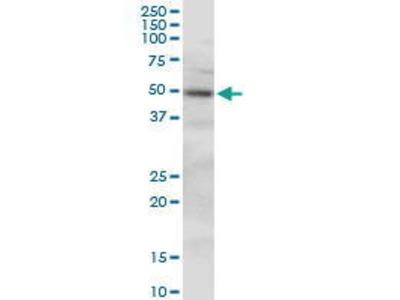Mouse Anti-PLEKHO1 Antibody