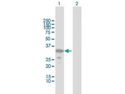 Rabbit Anti-ZMAT3 Antibody