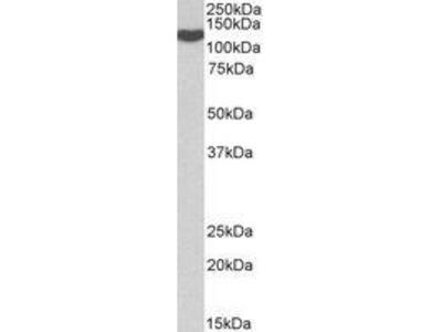 Goat Anti-ADAM19 Antibody