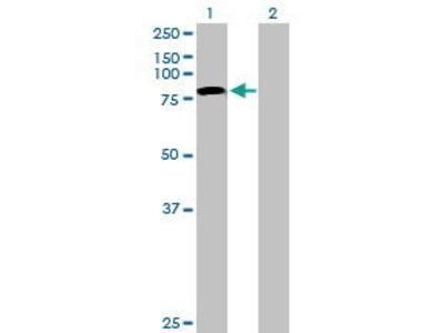 Mouse Anti-TLE4 Antibody