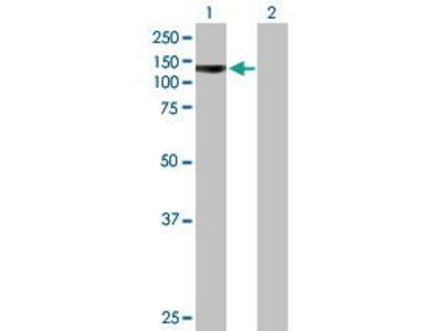 Mouse Anti-PCDHA4 Antibody