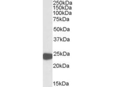 Goat Anti-PRDX1 Antibody
