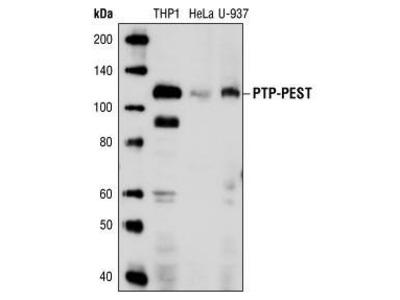 Mouse Anti-Protein Tyrosine Phosphatase Antibody