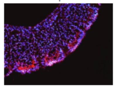 Sheep Anti-LRRN1 Antibody