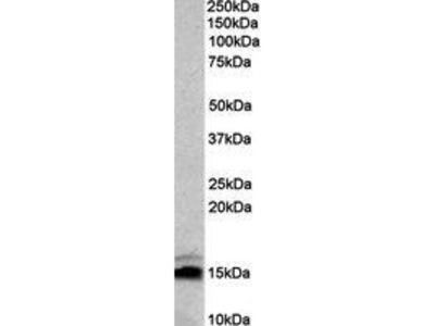 Goat Anti-Neurogranin, NRGN Antibody